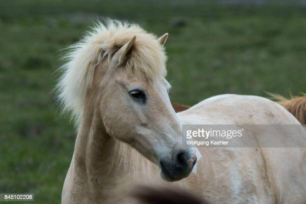 Portrait of an Icelandic horse in a pasture near Borgarnes in western Iceland