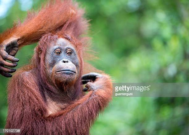 Portrait of an Orang Utan, wildlife shot
