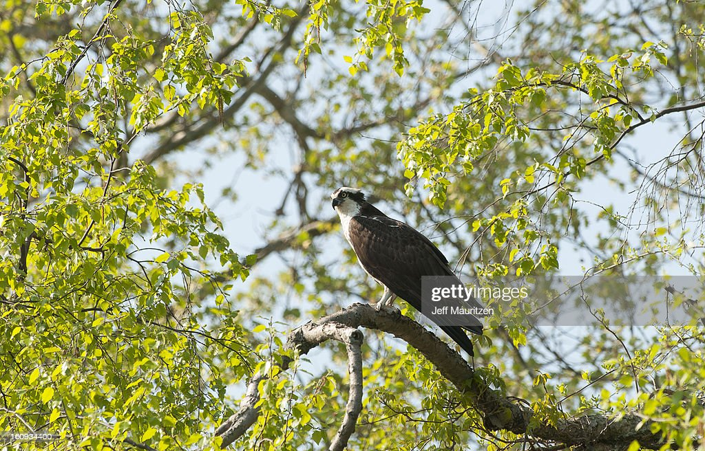 Portrait of an osprey, Pandion haliaetus, perched in a tree. : Stock Photo