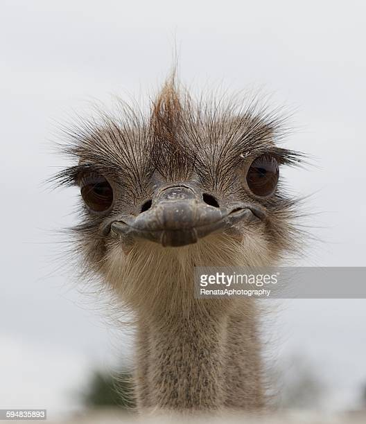 Portrait of an ostrich bird