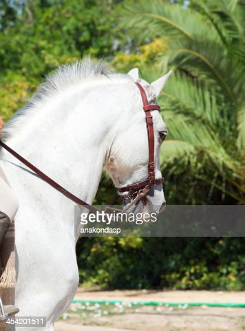 Retrato del Andalusian caballo blanco en movimiento.  España : Foto de stock