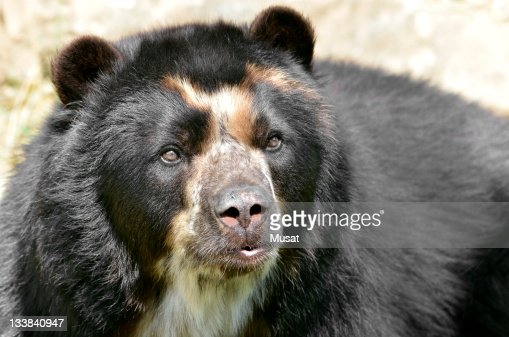 Portrait of Andean bear : Stock Photo