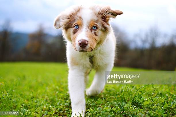 Portrait Of Australian Shepherd Puppy On Grass