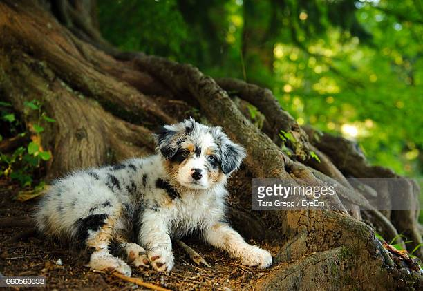 Portrait Of Australian Shepherd Sitting By Tree In Forest