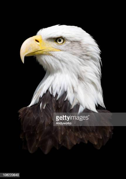 Portrait of Bald Eagle Isolated on Black Background