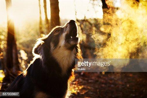 Portrait of barking dog