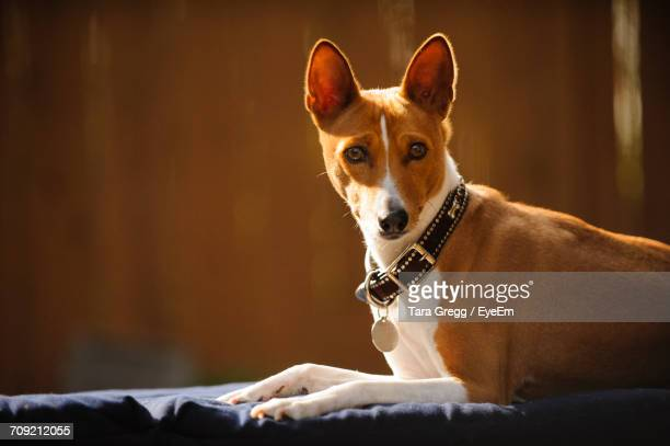 Portrait Of Basenji Relaxing On Deck Chair