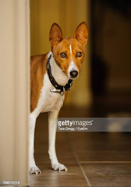 Portrait Of Basenji Standing At Doorway On Floor