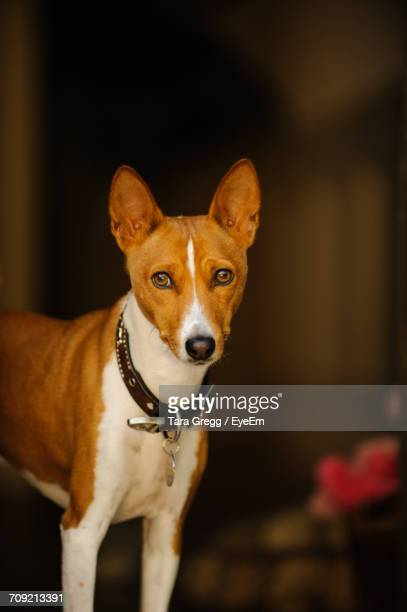 Portrait Of Basenji Standing