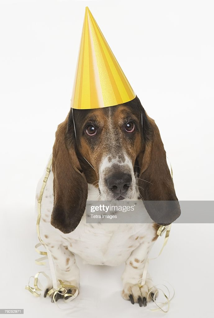 Portrait of bassett hound wearing yellow party hat
