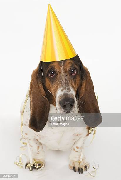 Portrait of bassett hound wearing yellow party hat