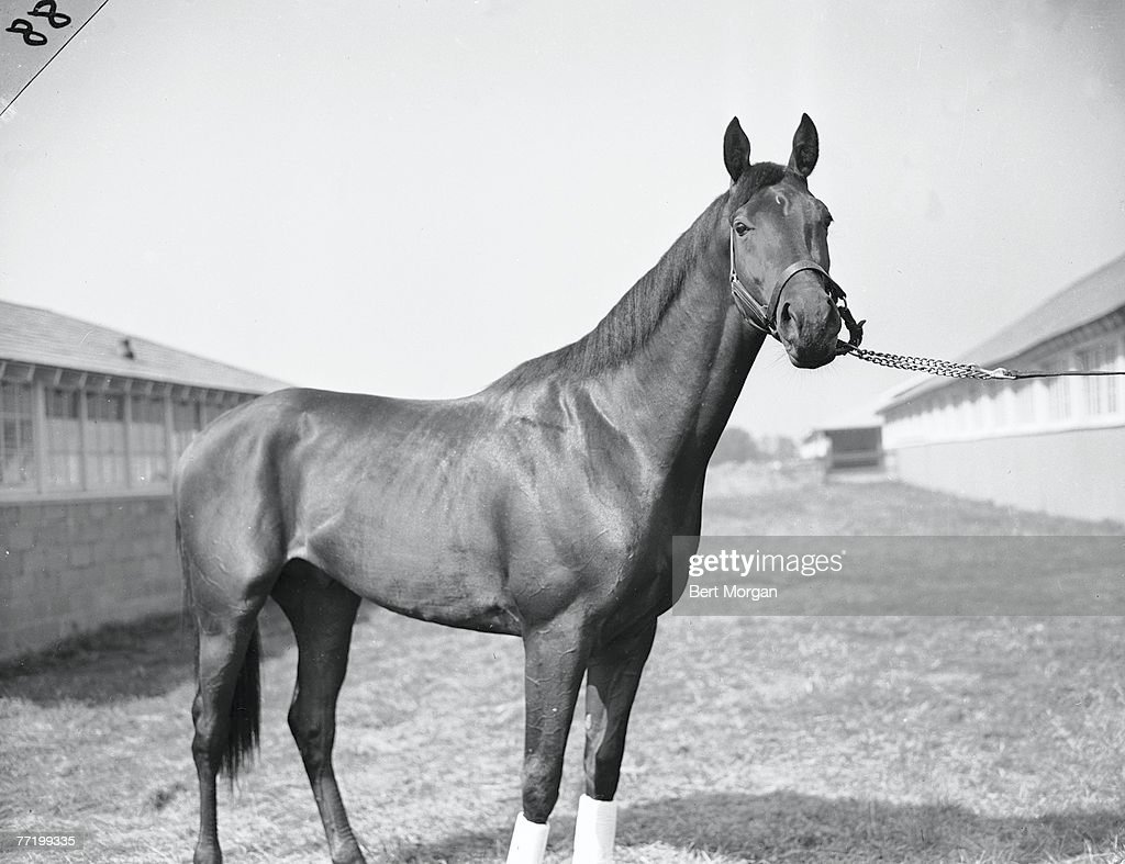 Portrait of bay colt Citation at the Belmont Futurity Stakes Elmont New York October 8 1947 Citation won the race and the next year become one of...