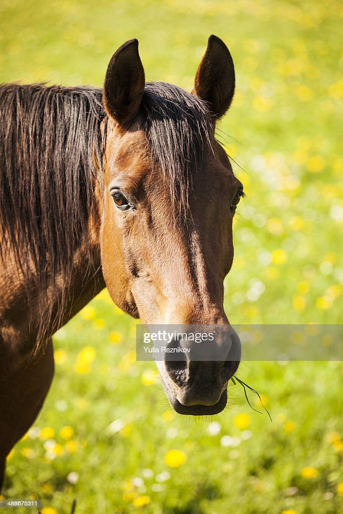 Portrait of beautiful brown horse outdoors : Stock Photo