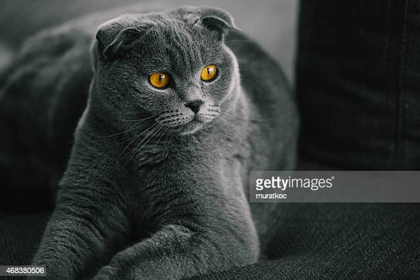 Portrait of Beautiful Scottish Fold Cat