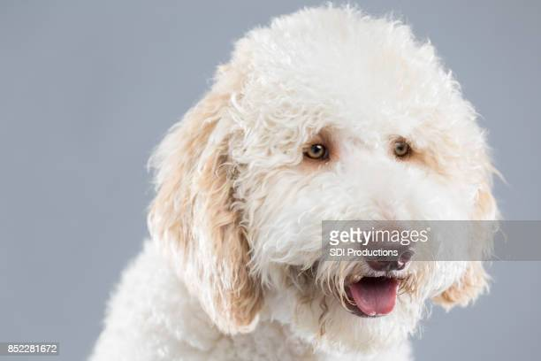 Portrait of beautiful white fluffy dog