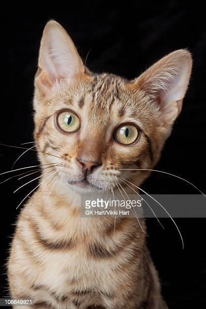Portrait of Bengal Cat on Black Background