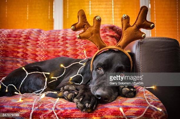 Portrait Of Black Dog In Headband Surrounded By Christmas Lights Relaxing On Sofa