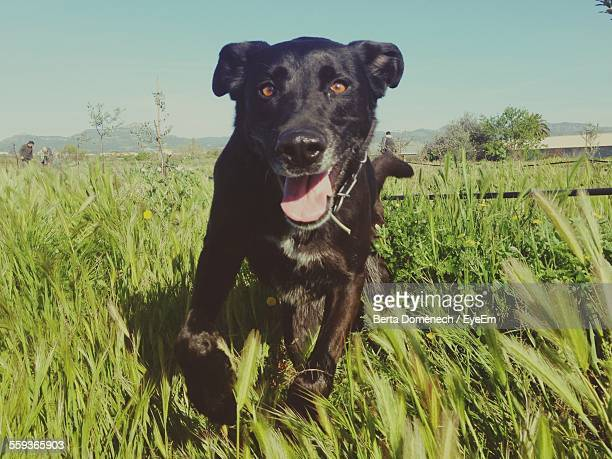 Portrait Of Black Labrador Running On Field