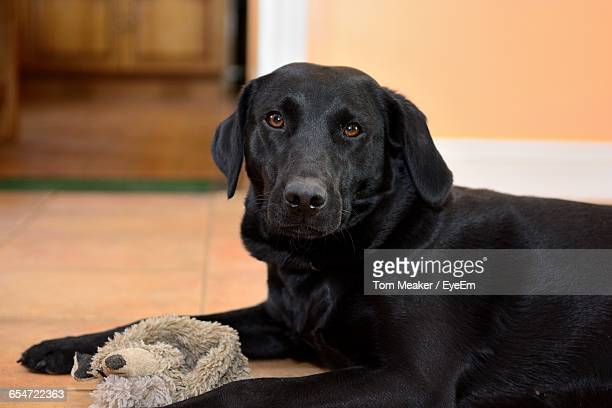 Portrait Of Black Labrador Sitting On Floor At Home