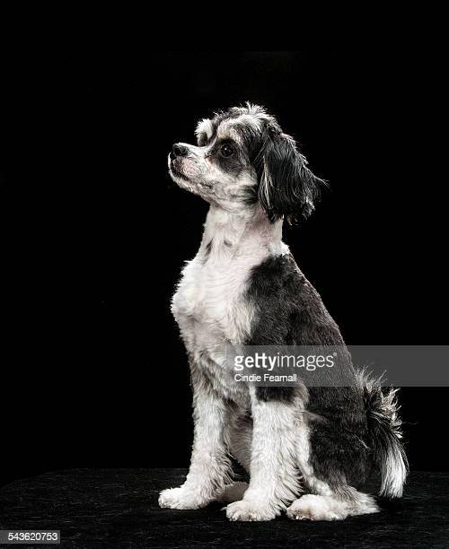 Portrait of Black & White Dog on Black Background