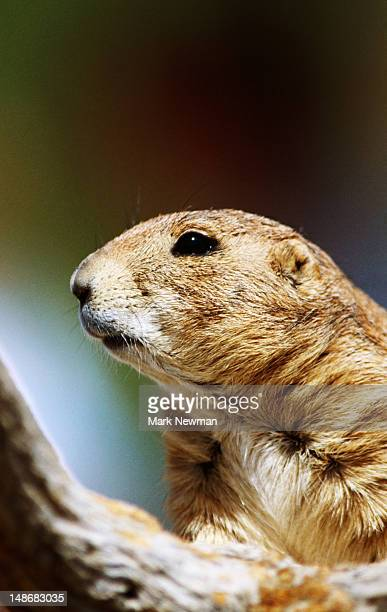 Portrait of black-tailed prairie dog, Arizona Sonora Desert Museum.