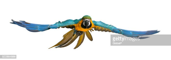 Portrait of Blue and Yellow Macaw, Ara Ararauna, flying : Stock Photo