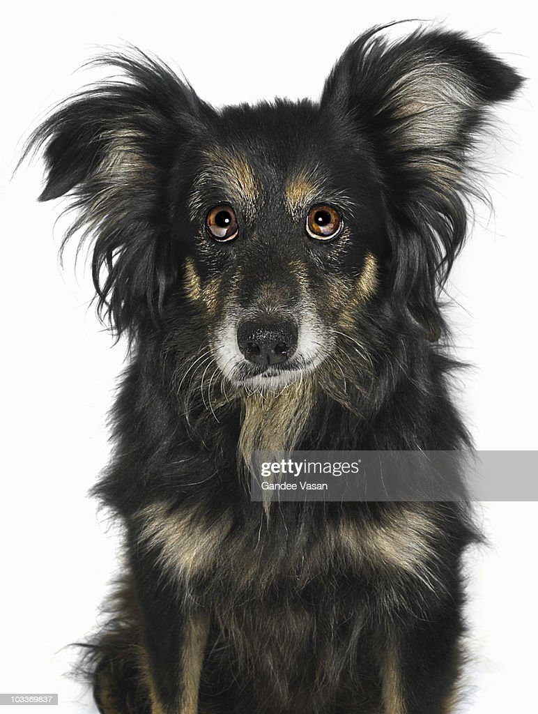 Portrait of border Collie Cross Dog : Stock Photo
