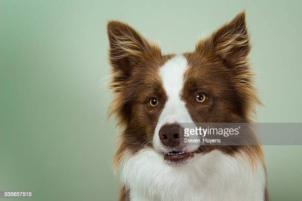 Studio portrait of border collie