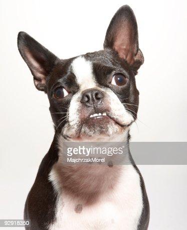 portrait of boston terrier with underbite