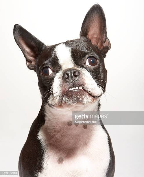 portrait of boston terrier with underbite