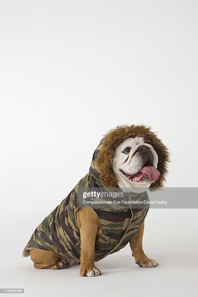 Portrait of British Bulldog in dog jacket : Stock Photo