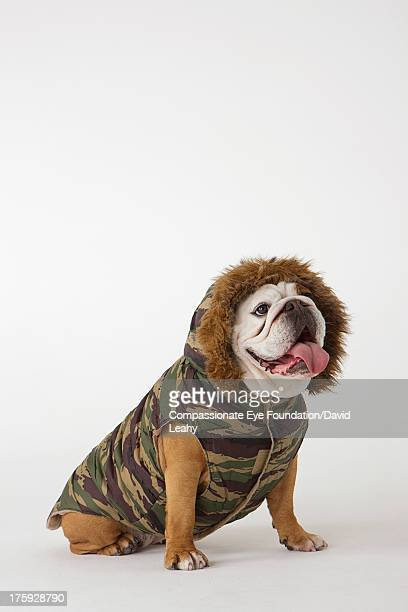 Portrait of British Bulldog in dog jacket