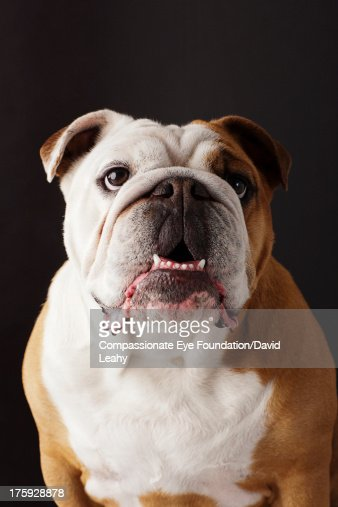 Portrait of British Bulldog