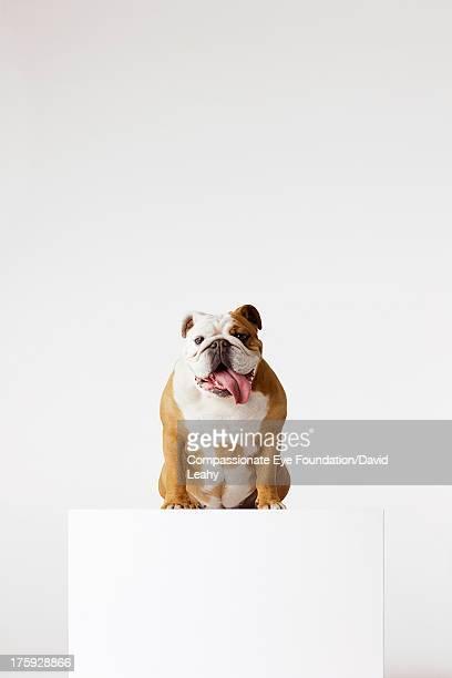 Portrait of British Bulldog sitting