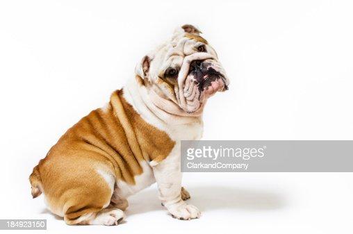 Portrait of British Bulldog White Background