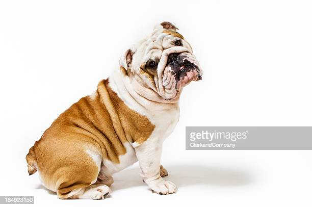 Portrait of British Bulldog White Background