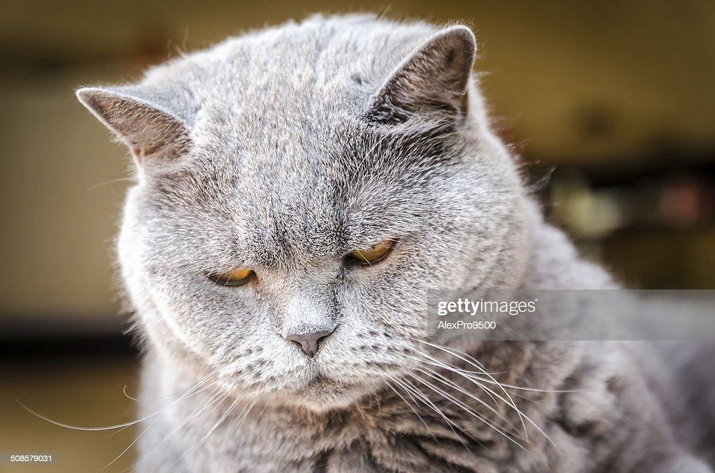 Portrait of british cat : Stock Photo