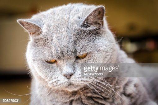 英国猫のポートレート : ストックフォト