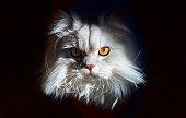 Portrait of british longhair cat on black background