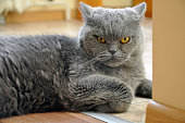 Portrait of British Short hair blue cat. Angry face, a recumbent pose, bent foot.