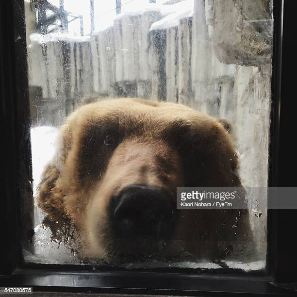 Portrait Of Brown Bear In Cage