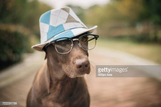 Portrait of brown dog wearing fedora and glasses