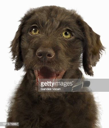 Portrait of Brown Labradoodle Puppy : Stock Photo