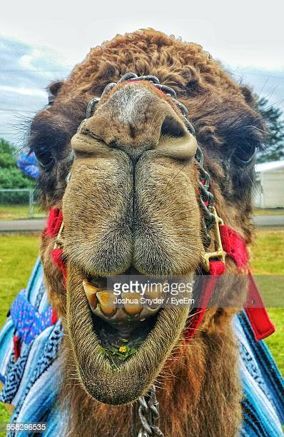 Portrait Of Camel With Yellow Teeth