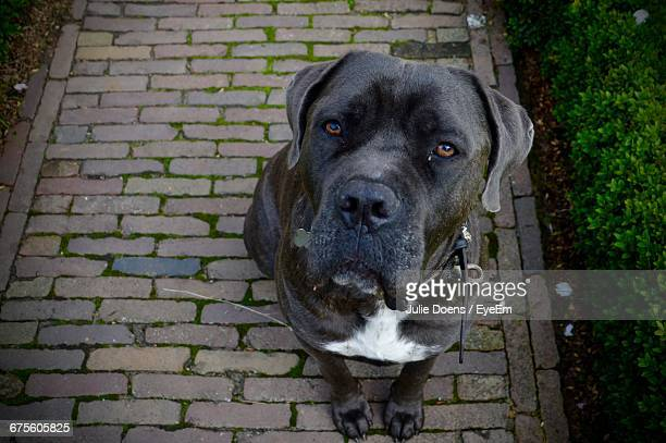 Portrait Of Cane Corso Sitting On Cobbled Walkway