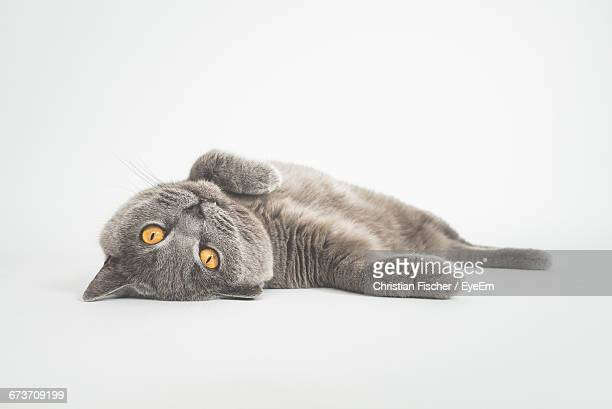 Portrait Of Cat Lying Against White Background