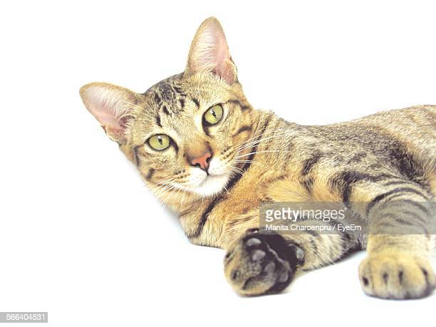 Portrait Of Cat Lying Down Against White Background