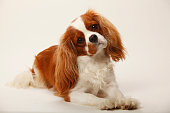 Portrait of Cavalier King Charles Spaniel lying in front of white background