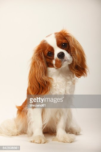 Portrait of Cavalier King Charles Spaniel sitting in front of white background