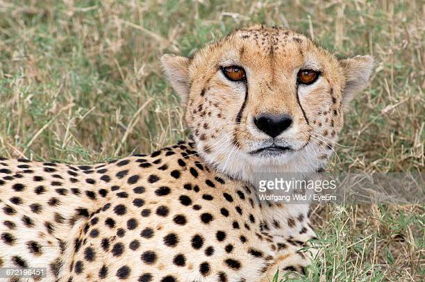 Portrait Of Cheetah Relaxing On Field